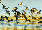 Mostly Greater Yellowlegs In Flight