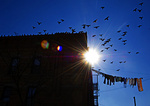 Pigeon Flock And Clothes Line
