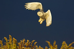 Snowy owl flight in dramatic late afternoon light
