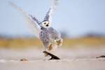 Snowy Owl Leaps In Altercation With Peregrine Falcon / Motion