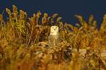 Snowy Owl Observant As She gets Ready To Hunt