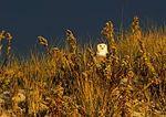 Snowy Owl In Dune Habitat In Dramatic Late Light