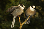 Two Gray Jays