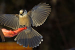 Canada jay or Gray Jay Landing for a Handout