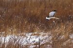 Male Northern Harrier Hunting In Winter