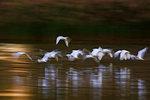 Egret Flight Impression At Dawn