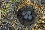Four Red-Winged Blackbird Eggs In Nest