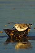 Sanderling And Horseshoe Crab