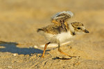 Piping Plover Chick Running With Raised Wings