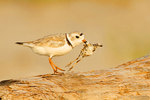 Piping Plover Parent With Dead Chick