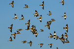 Snow Bunting Flock In Flight