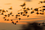 Brant Flock Flight Abstract