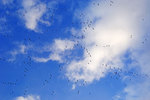 Snow Geese Skeins Among Clouds