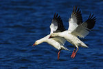 Two Snow Geese Landing On Pond