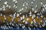 Flock Of Snow Geese Fly In Salt Marsh