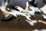 Snow Geese Flock Close-Up In Flight