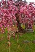 Flowering Tree In Cemetery