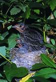 Cowbird with Yellow Warbler Chicks in Nest