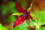 Red Trillium after April Rain