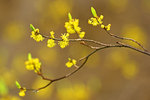 Spicebush with Blossoms and Leaf Buds