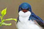 Tree Swallow Greeting Mate