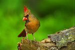 Female Northern Cardinal in Early June