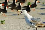 Herring gull and skimmers