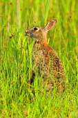 Eastern Cottontail foraging