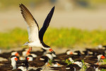 Black skimmer landing in colony