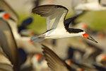 Black skimmers in flight close-up