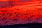 Shorebird  dusk calligraphy in red