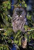 Great gray owl in cedar