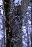 Great gray owl camouflaged against tree trunk