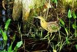 American bittern, Corkscrew Swamp Sanctuary