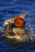 Redhead drake in breeding plumage bathing