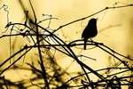 Carolina wren singing at dawn