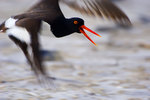 Oystercatcher in flight, motion