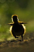 gosling running on an early May morning