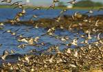 Semipalmated sandpipers, spring migtration