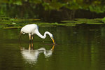 Great egret foraging on summer pond
