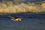 Black skimmer and surf