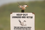 Common tern perched on shorebird sign