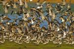 Short-billed dowitchers rising in flight