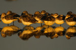 Semipalmated sandpipers roosting
