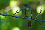 Yellow-bellied flycatcher in late August