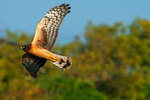 Northern harrier on early morning hunt
