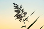 Phragmites silhouette in pre-dawn light