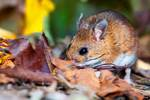 White footed mouse forages in leaf litter