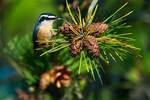 Red-breasted nuthatch and pine cones