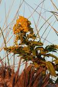 Seaside goldenrod in autumn